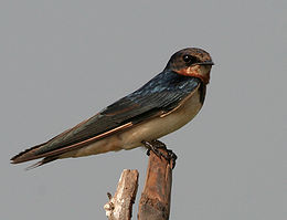 Barn Swallow (Hirundo rustica) in AP W IMG 3870
