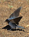 Barn swallow, Hirundo rustica, at Suikerbosrand Nature Reserve, Gauteng, South Africa (23374923715).jpg