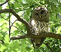 Barred Owl at Willmore Park (47890600991).jpg