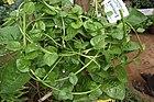 Basella rubra aka indian spinach or Basella alba 7451.JPG
