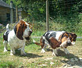 Basset hound , so funny.jpg