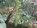 Bauhinia acuminata - ചുവന്ന മന്ദാരം 01.JPG