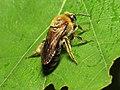 Bee (14216375490).jpg