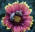 Bee flower031713-4a (8587564164).jpg