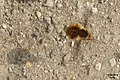 Bee fly hovering, and shadow (RL) (17099151148).jpg
