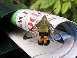 الفرق بين ذوات الدم الحار والبارد 250px-Bee_hawk_moth_newspaper.jpg