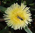 Bee on flower April 2010-1.jpg
