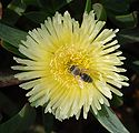 Bee on flower April 2010-1.jpg