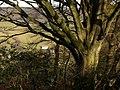 Beech above Lidwell Farm - geograph.org.uk - 1165964.jpg