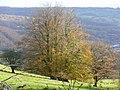 Beeches on the hillside 2 - geograph.org.uk - 1041350.jpg