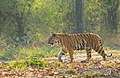 Bengal Tiger (125143241).jpeg