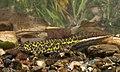 BennyTrapp Zwerg-Marmormolch Triturus pygmaeus Andalusien Spanien.jpg