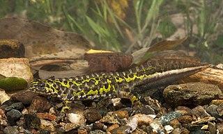 Southern marbled newt Species of salamander