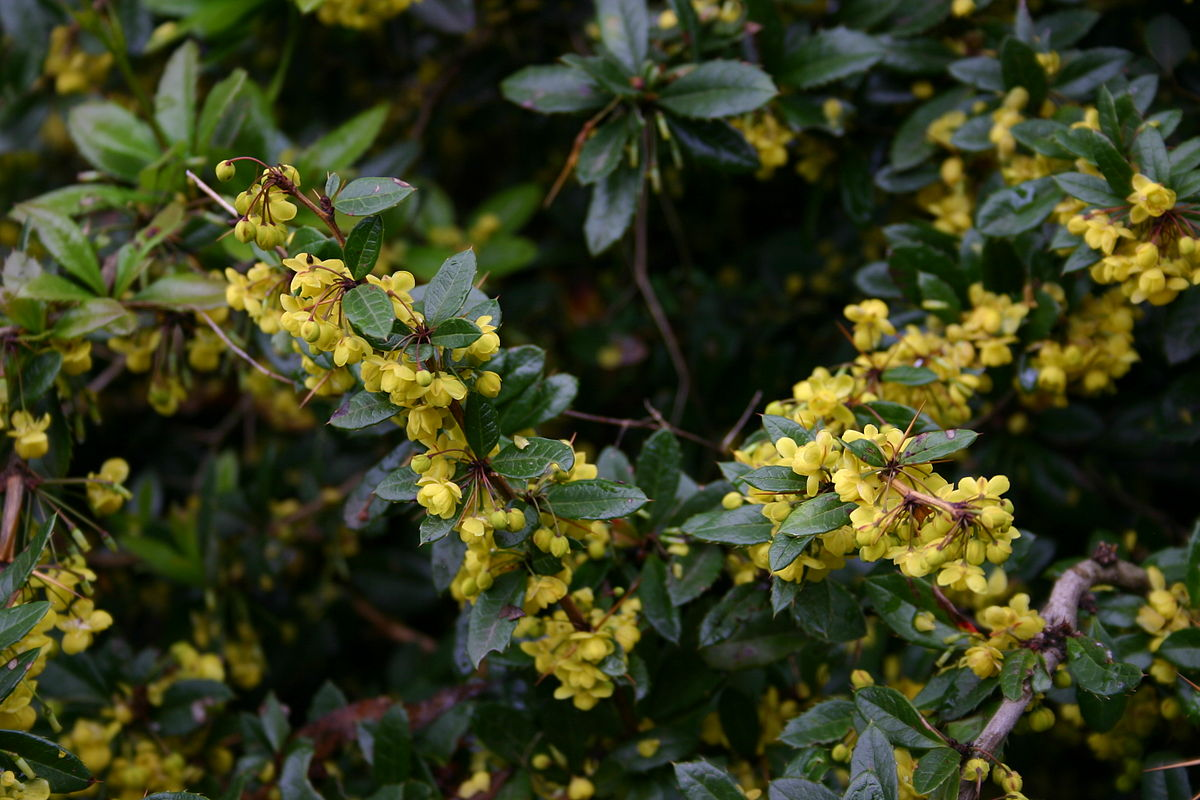 Barberry forecasting