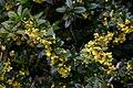 Berberis William Penn flowers 8001.JPG