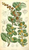 Berberis actinacantha (drawing in colour)