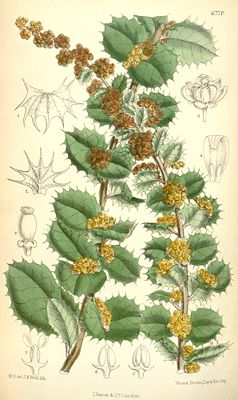 "Illustration von Berberis actinacantha aus ""Curtis' Botanical Magazine"" (1884)"