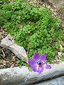 Berne botanic garden Anemona coronaria.jpg