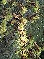Berne botanic garden Hamamelis mollis.jpg