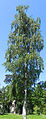 Betula pendula young tree.JPG