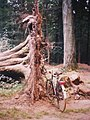 Bicycle and uprooted tree.jpg