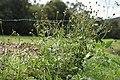 Bidens pilosa plant10 (14975771440).jpg