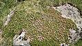 Bieltal (Tirol) Kalmia procumbens.jpg