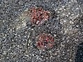Big garnet amphibolite (Precambrian; Warrensburg, Adirondack Mountains, New York State, USA) 44.jpg