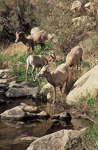 Anza-Borrego Desert State Park - Desert bighorn sheep at Palm Canyon Oasis.
