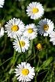 Bin Ein Gänseblümchen (66277833).jpeg
