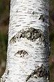 Birch trunk with bark in Norrkila.jpg