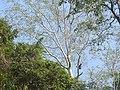 Bird Great Hornbill Buceros bicornis at nest DSCN9018 24.jpg