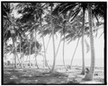 Biscayne Bay, through the cocoanut trees, Miami, Fla.tif