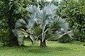 Bismarckia nobilis 3499.jpg
