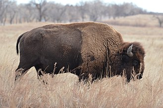 Rocky Mountain Arsenal - A bison on the Rocky Mountain Arsenal National Wildlife Refuge.
