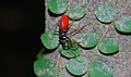 Black-and-red Bug (Hemiptera) (8686163878).jpg