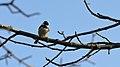 Black-capped Chickadee (Poecile atricapillus) - Guelph, Ontario 01.jpg