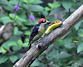 Black-cheeked Woodpecker (6927608430).jpg
