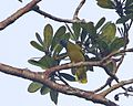 Black-headed Bulbul (Pycnonotus atriceps) - Flickr - Lip Kee.jpg