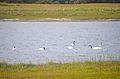 Black-necked swan (Cygnus melancoryphus).jpg