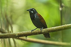 Black-throated babbler (Stachyris nigricollis).jpg
