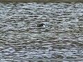 Black-winged Stilt (Himantopus himantopus) (37199147315).jpg