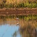 Black-winged stilt pond near Burke River Boulia Queensland P1030827.jpg