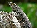Black Iguana (Ctenosaura similis) (7098942645).jpg