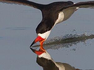 Black skimmer - In Quintana, Texas Feeding