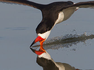 Black skimmer - In Quintana, Texas Feeding