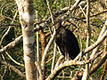 Black Vulture (16629426411).jpg