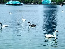 Black and White Swans at Lake Eola Park