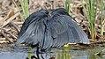 Black heron, Egretta ardesiaca, at Marievale Nature Reserve, Gauteng, South Africa. (28293689569).jpg