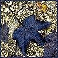 Black leaf - Flickr - Stiller Beobachter.jpg